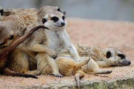 Suricate or Meerkat (Suricata suricatta) in relaxation period photo
