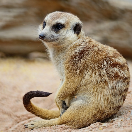 Suricate or Meerkat (Suricata suricatta) in relaxation period photo