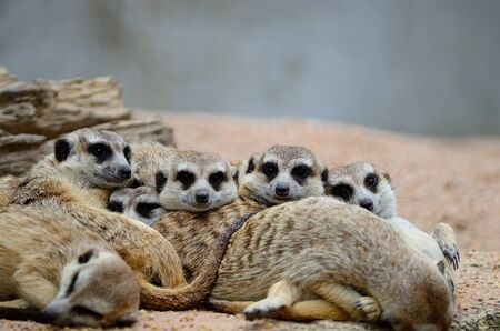 suricata suricatta: Family of Suricates or Meerkats (Suricata suricatta) in relaxation period Stock Photo
