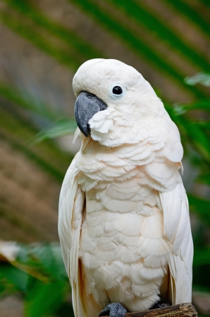 Beautiful pale pink Cockatoo, Mollucan Cockatoo (Cacatua moluccensis), standing on a branch photo