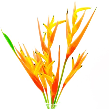 heliconia: Orange Heliconia flower, Heliconia psittacorum, tropical flower isolated on a white background Stock Photo