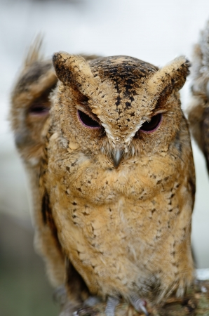 Oriental Scops Owl (Otus sunia), face and breast profile photo