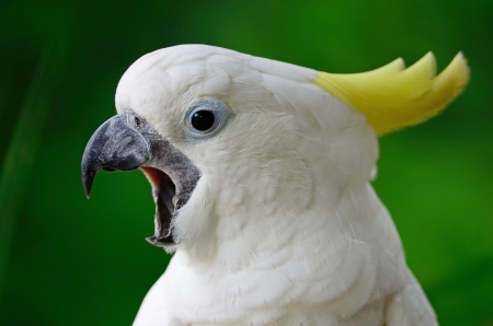 Beautiful white Cockatoo, Sulphur-crested Cockatoo  Cacatua galerita  photo