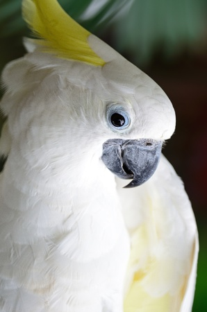 Beautiful white Cockato, Sulphur-crested Cockatoo  Cacatua galerita  photo