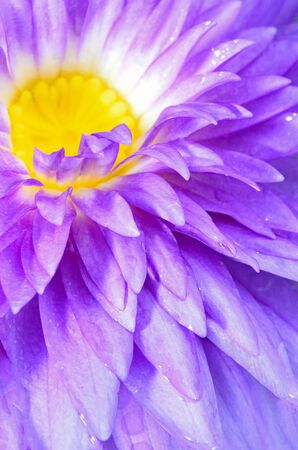 Close up of beautiful purple water lily photo