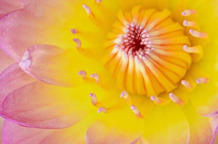 Close up of  beautiful pink water lily photo