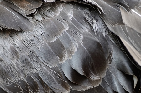 Black Swan feathers photo