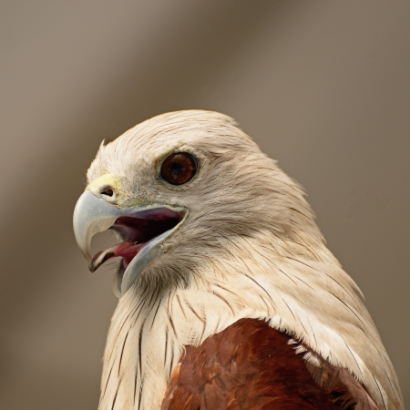 Brahminy Kite  Haliastur indus , face profile
