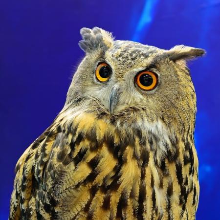 Eurasian Eagle Owl, face profile photo