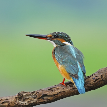 A beautiful Kingfisher bird, female Common Kingfisher  Alcedo athis , standing on a branch, back profile