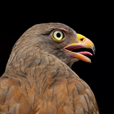 Rufous-winged Buzzard  Butastur liventer , breast profile  photo