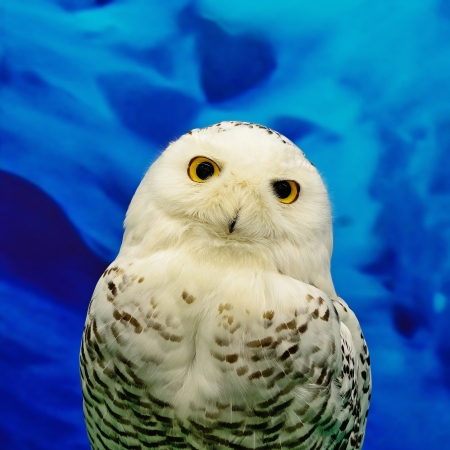 Closeup Snowy Owl  Bubo scandiacus  photo