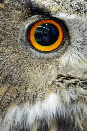 Eye of Eurasian Eagle Owl Stock Photo