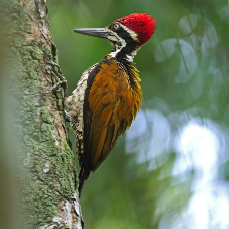Beautiful woodpecker bird, a male of Greater Flameback  Chrysocolaptes lucidus , taken in Thailand