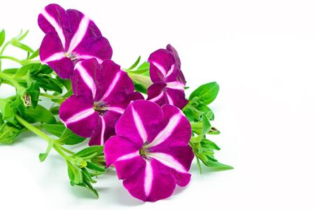 Colorful star purple petunia, isolated on a white background  photo