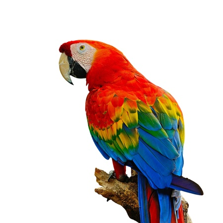 色鮮やかな緋色のコンゴウインコ鳥小屋、白い背景上に分離されて、ログの上に座って