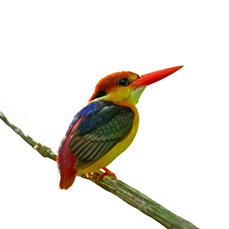 Multicolored Kingfisher bird, Black-backed Kingfisher  Ceyx erithacus , back profile, isolated on a white background