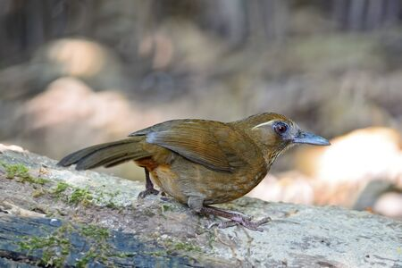 laughingthrush: Spot-breasted Laughingthrush  Stactocichia merulina , uncommon species of Laughingthrush bird, back profile, taken in Thailand
