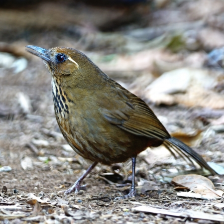 laughingthrush: Spot-breasted Laughingthrush  Stactocichia merulina , uncommon species of Laughingthrush bird, singing a song on the ground, taken in Thailand