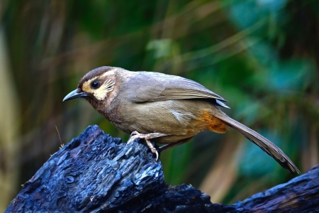White-browed Laughingthrush  Pterorhinus sannio , uncommon species of Laughingthrush bird, standing on the log, side profile, taken in Thailand photo