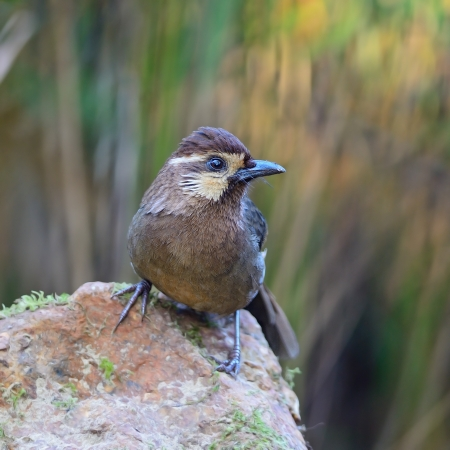 laughingthrush: White-browed Laughingthrush  Pterorhinus sannio , uncommon species of Laughingthrush bird, standing on the log, face profile, taken in Thailand Stock Photo