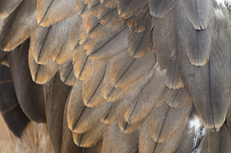 black kite: Black Kite  Milvus migrans  feather