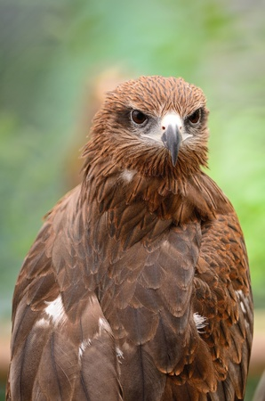 black kite: Black Kite  Milvus migrans , head profile