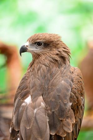 milvus: Black Kite  Milvus migrans , back profile