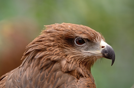 Black Kite  Milvus migrans , face profile