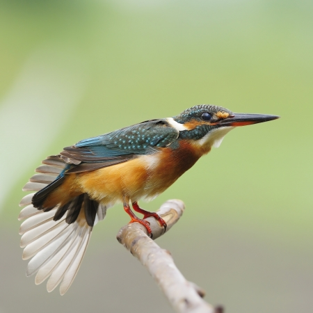 A beautiful Kingfisher bird, female Common Kingfisher  Alcedo athis , standing on a branch  Stock Photo