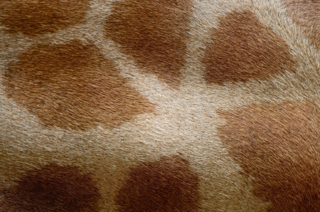 Genuine leather skin of Giraffe  Girafta camelopardalis  photo