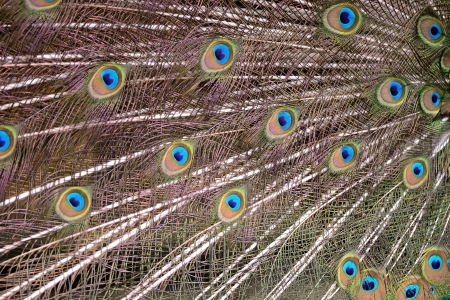 peafowl: Green Peafowl feather background