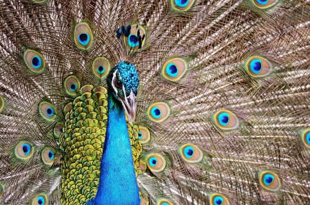 Beautiful  male Green Peafowl  Pavo muticus , with colorful tail fully open  photo