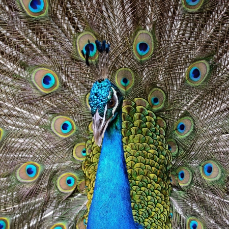 Beautiful  male Green Peafowl  Pavo muticus , with colorful tail fully open Stock Photo
