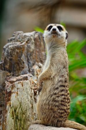 suricatta: Alert Suricate or Meerkat  Suricata suricatta  on the lookout Stock Photo