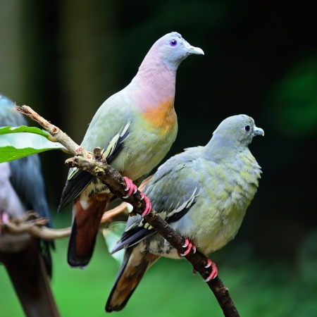 Couple lover of Pink-necked Green-Pigeon  Treron vernans , perching on the branch