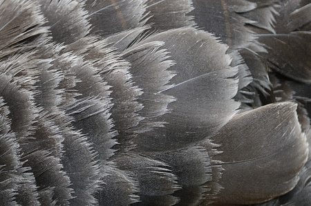 Black swan wing pattern feather texture