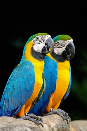 Colorful Blue and Gold Macaw aviary, side profile Stock Photo
