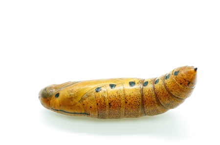sphingidae: Pupa of Daphnis nerii (formerly Deilephila nerii), known as the Oleander Hawk-moth Or Army Green Moth, is a moth of the Sphingidae family Stock Photo