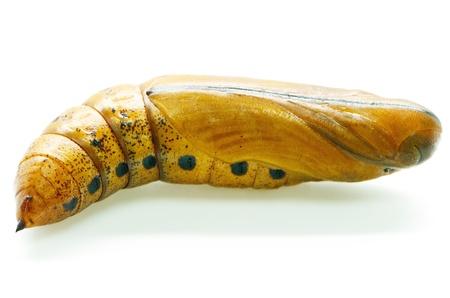 랜더 호크 - 방 또는 육군 녹색 나방로 알려져 다프 니스의 nerii (이전 Deilephila의 nerii)의 번데기, sphingidae입니다 가족의 나방이다