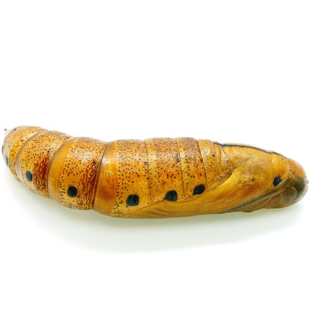 deilephila: Pupa of Daphnis nerii (formerly Deilephila nerii), known as the Oleander Hawk-moth Or Army Green Moth, is a moth of the Sphingidae family Stock Photo