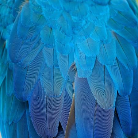 블루와 골드 잉 꼬의 깃털