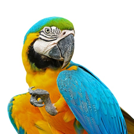 papagayo: Azul y oro guacamayo aviario, aislado en un fondo blanco