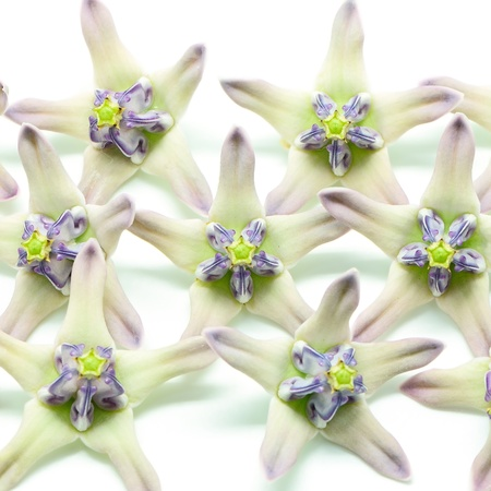 sepals: Petals and sepals of white and purple flower, Crown Flower, Giant Indian Milkweed, Gigantic Swallowwort (Calotropis gigantea) isolated on a white background