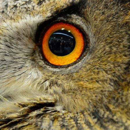 Closeup eye of Eurasian Eagle Owl