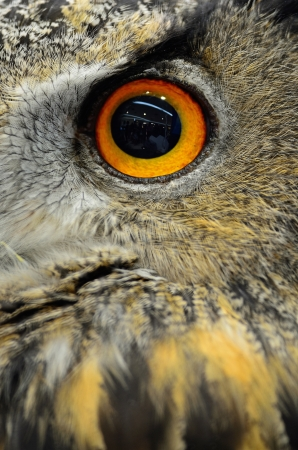 Closeup eye of Eurasian Eagle Owl photo