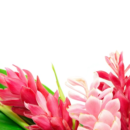 alpinia: Colorful flower, Pink and Red Ginger or Ostrich Plume (Alpinia purpurata) isolated on a white background
