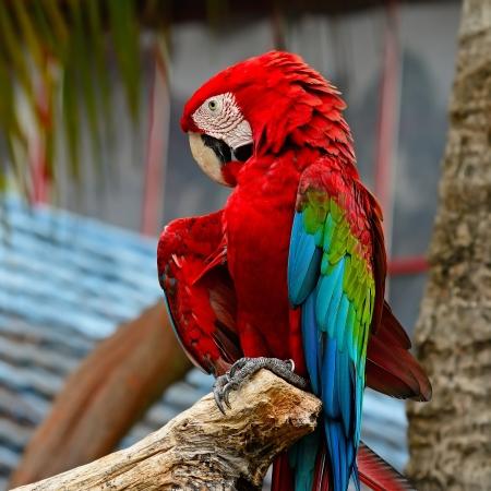 aviary: Colorful Greenwinged Macaw aviary Stock Photo