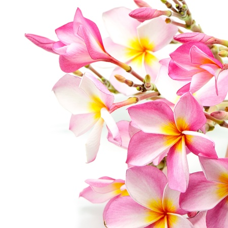 Blossom pink Plumeria flower, isolated on a white background