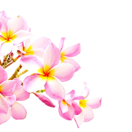 Blossom pink Plumeria flower, isolated on a white background photo
